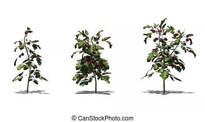 tomato plant in wind on whitebackground - video screen