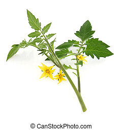 Tomato Plant Leaf Sprig - Tomato plant flower and leaf sprig...