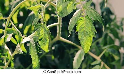 Tomato plant leaves moving after watering