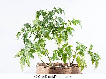 Tomato plant on white background
