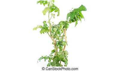 Tomato plant ripening time lapse, white background - Closeup...