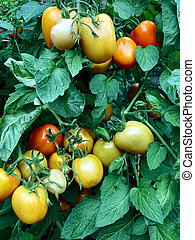 Tomato Plant - Tomato plant in a greenhouse farm or garden...
