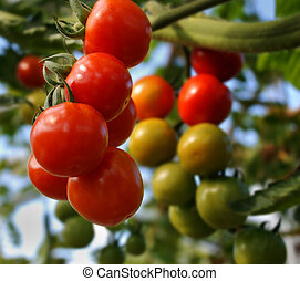 tomatos hanging on a plant