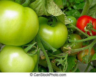 Tomato Plant - Unripe tomatoes on a tomato plant