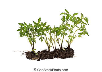 Tomato plant with soil isolated on white background. concept of development.