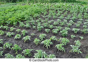 vegetable garden - tomato plantation in the vegetable garden