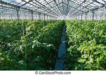 Tomato plants - A shot of tomato plants growing inside a ...