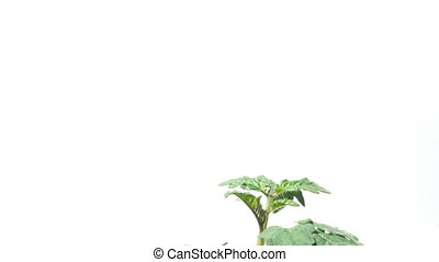 Tomato Seedling Time-lapse - Time lapse of a young tomato...