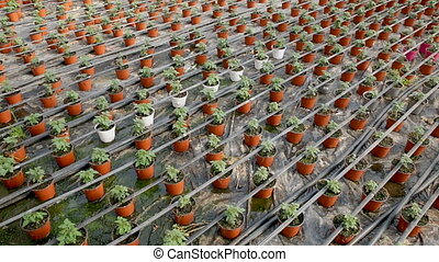 Tomato seedlings growing in pots in greenhouse - Tomato ...