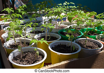 Tomato seedlings grown in pots before planting to garden