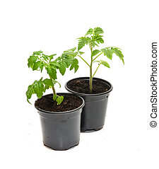 Tomato seedlings in a pot isolated on white background. Young plants in plastic pot