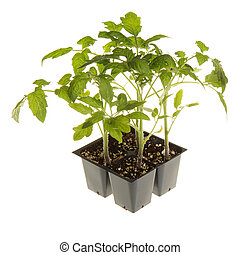 A pack of four tomato seedlings (Solanum lycopersicum or Lycopersicon esculentum) ready to be transplanted into a home garden isolated against a white background