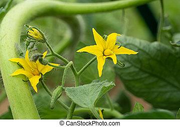 Blossom of tomato plant (Solanum lycopersicum)
