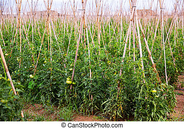 Tomato sprouts grow on the field using sticks - Tomato ...