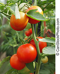 Tomatoes bunch close-up