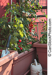 Tomato cultivation in the vases of an urban garden on the terrace
