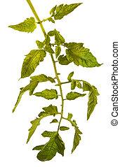 tomatoes., folhas, isolado, bush, verde branco