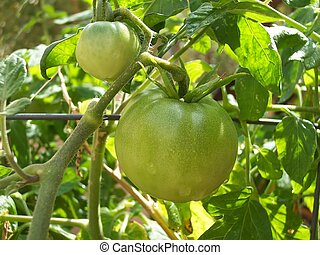 Tomatoes Green on Vine