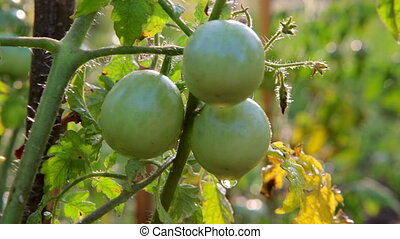 Tomatoes, Green Tomatoes in the garden. watering of tomatoes...
