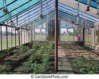 tomatoes grow in the greenhouse