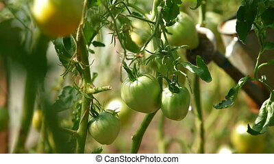 Tomatoes Growing in Greenhouse