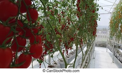 tomatoes growing on a farm - Ripe natural tomatoes growing...