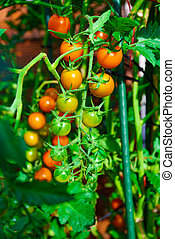 tomatoes grown in a greenhouse