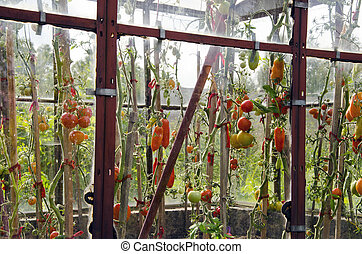 Tomatoes in glass greenhouse.