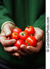 Tomatoes in hands of the old person. Lviv, Ukraine