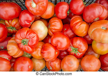 Tomatoes just collected at local farm. Sustainable agriculture