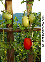 Roma and Lemon Boy tomatoes growing on the vine.
