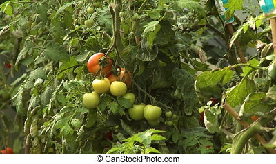 Tomatoes on Vines - Steady, medium close up shot of ripe and...