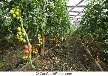 Tomatoes ripening in a greenhouse, sicily, italy
