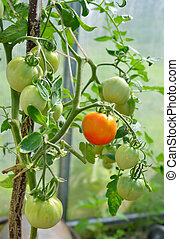 Tomatoes ripening in the greenhouse