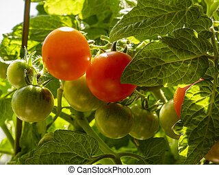 Tomatoes ripening on a plant, variety Red Robin