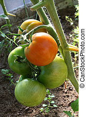 Tomatoes ripening on the plant