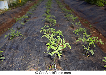 tomatoes seedlings