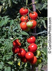 Tomatos growing on a bush in the garden