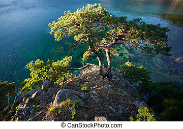 pines on a rocks at the sea in the morning light