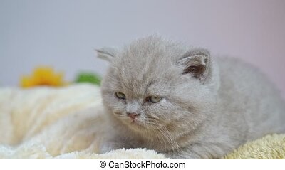 tomber, britannique, blanket., lop-eared, oreiller, chaton, ...