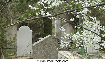 Tombstones at the cemetery, in the foreground blossoming...