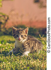 Tomcat with white and tabby fur sits on green grass