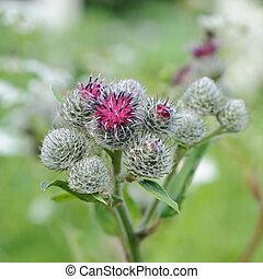 tomentosum), (arctium, bardane, laineux, inflorescence