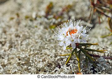 tomentosum, rhododendron
