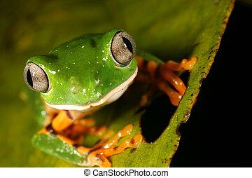 tomopterna), durchgestrichen, frosch, affe, (phyllomedusa