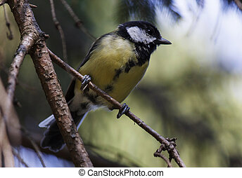 tomtit on branch of pine tree