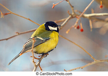 tomtit, perched, ramo