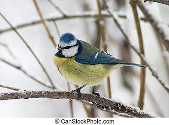 tomtit, ptáček