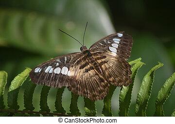 tondeuse, brun, prolongé, papillon, large, ailes