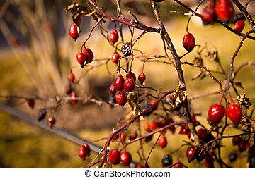 toned, foto, arbusto, crecer, bayas, barberry